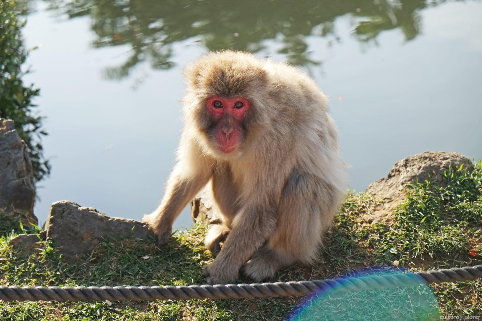 Monkey in Arashiyama Kyoto | Cultural Xplorer